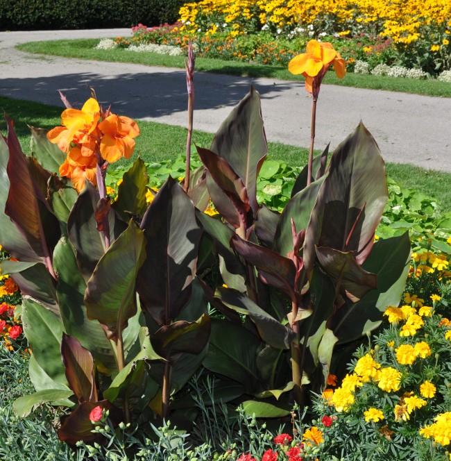 Канны завораживают огненными оттенками необыкновенных цветов и пышностью листьев