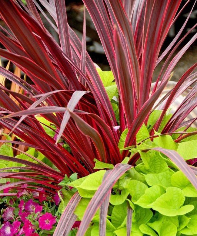 Драцена Окаймленная (или Маргината) имеет красноватые листья, что эффектно выделяет ее среди других растений