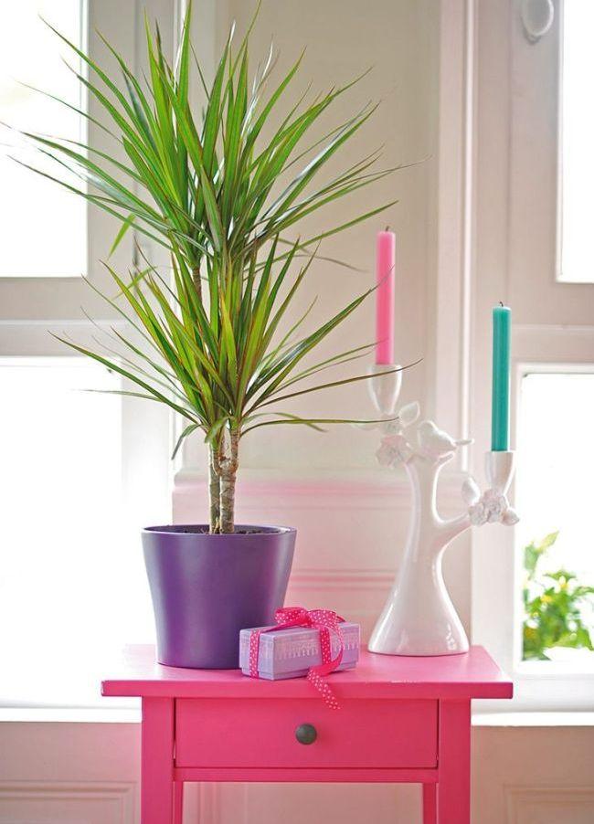 Драцена Сандера - хороший подарок для любителя комнатных цветов