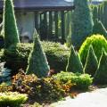 Канадская ель (44 фото): северная красавица в садах умеренных широт фото