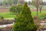 Фото 24 Канадская ель (44 фото): северная красавица в садах умеренных широт