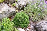 Фото 18 Канадская ель (44 фото): северная красавица в садах умеренных широт