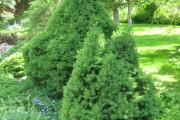 Фото 23 Канадская ель (44 фото): северная красавица в садах умеренных широт