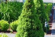Фото 14 Канадская ель (44 фото): северная красавица в садах умеренных широт