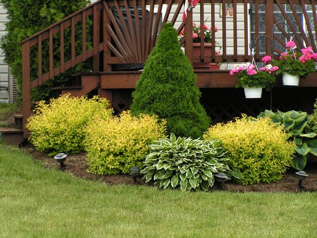 Ель коника в ландшафтном дизайне предпочитает полутень, а также чтобы почва была слегка увлажненной и имела достаточное количество удобрений