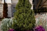 Фото 6 Канадская ель (44 фото): северная красавица в садах умеренных широт