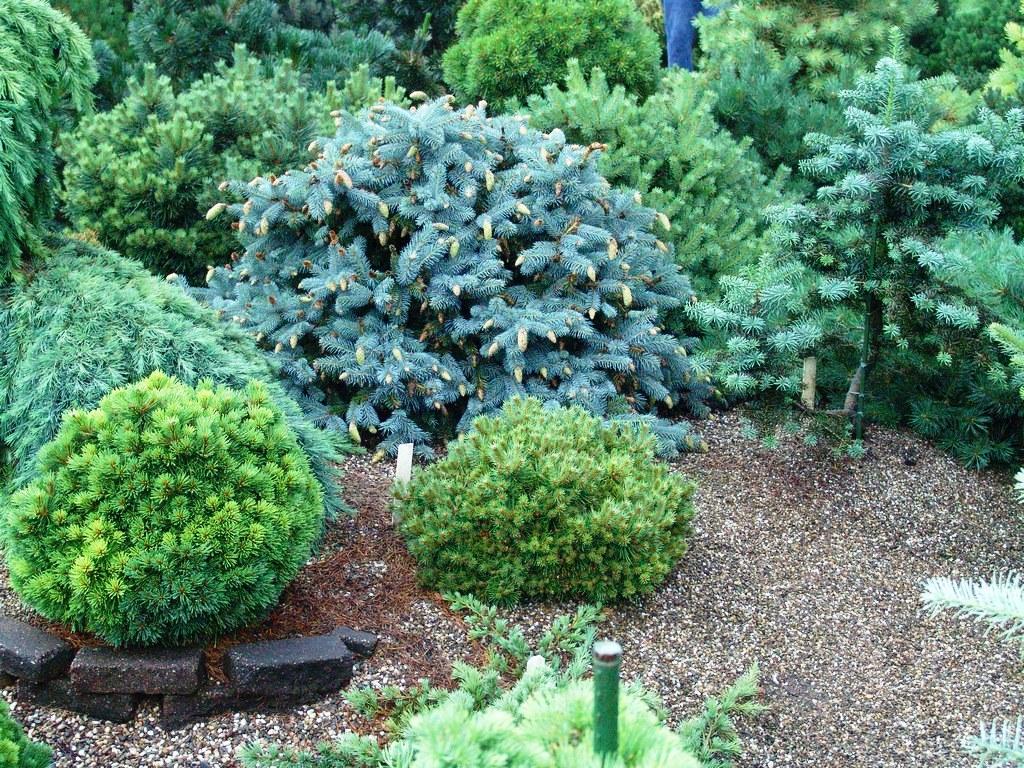 Ель шаровидная Эхиниформис морозостойка, любит солнечное местоположение, но хорошо переносит и полутень.