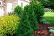 Фото 9 Канадская ель (44 фото): северная красавица в садах умеренных широт