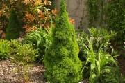 Фото 11 Канадская ель (44 фото): северная красавица в садах умеренных широт