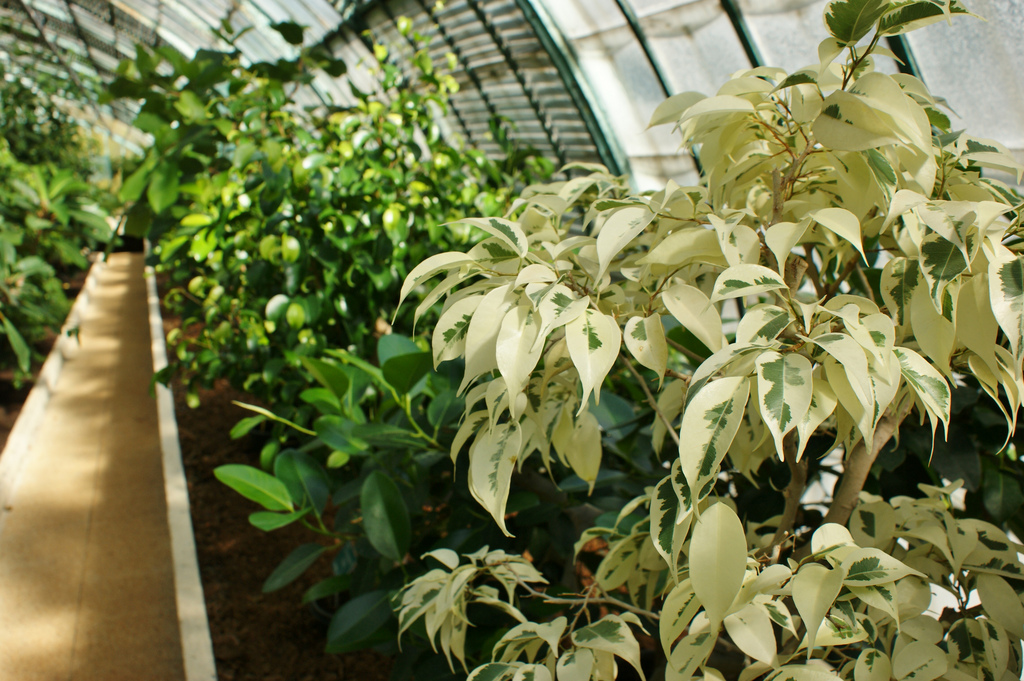 На фоне однотонной зеленой растительности фикус с белыми листьями смотрится особенно эффектно