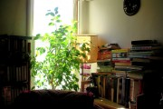 Фото 10 Фикус Бенджамина (75+ вариантов): уход в домашних условиях – полив, обрезка и размножение