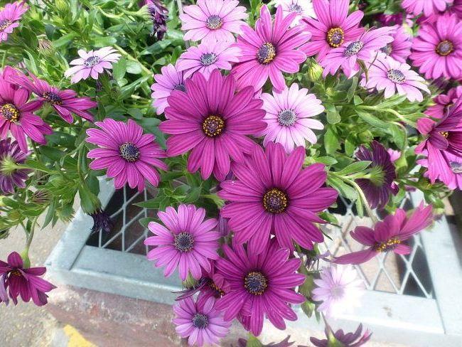Здоровые яркие цветы герберы