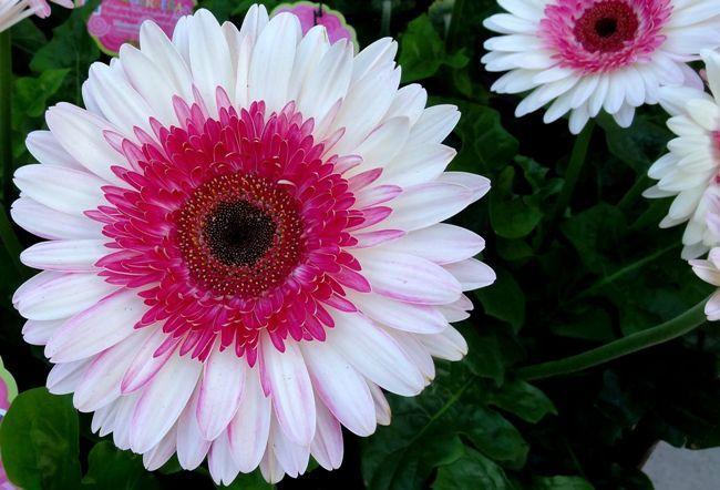 Оригинальная бело-розовая крупная гербера