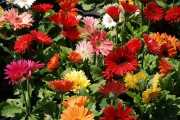 Фото 6 Гербера (50 фото цветов): виды и правила ухода