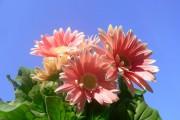 Фото 13 Гербера (50 фото цветов): виды и правила ухода