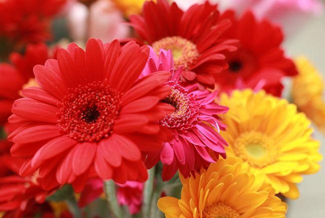 Цветы герберы могут иметь самые различные оттенки - от светло-желтого до кораллового