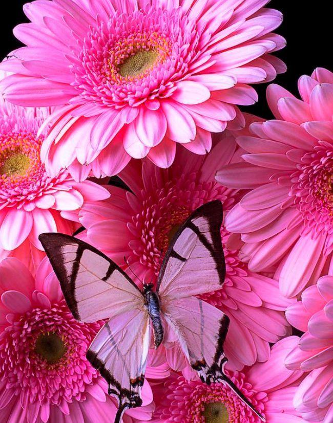 Крупные розовые герберы с махровыми серединками