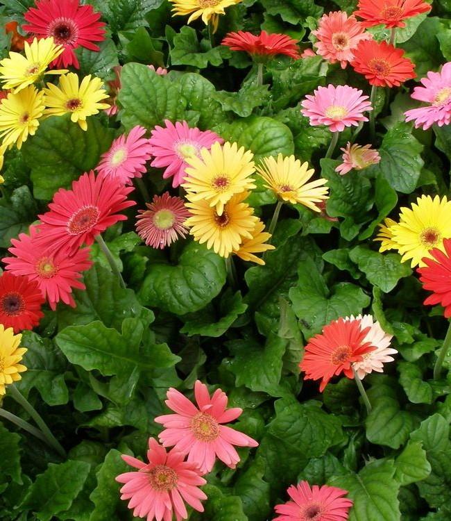 Яркое разноцветье гербер станет отличным украшением участка