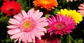 Гербера (50 фото цветов): виды и правила ухода фото