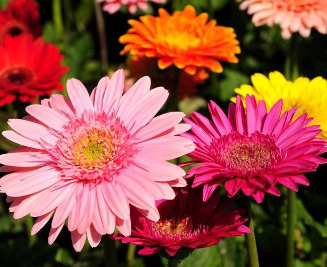 Этот цветок поражает разнообразием цветовой гаммы
