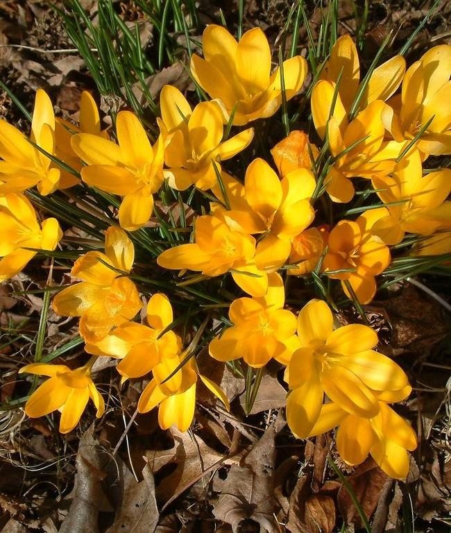 Яркие желтые крокусы - волшебное украшение вашего сада