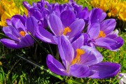 Фото 1 Крокусы (50 фото цветов): посадка, уход, размножение