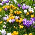 Крокусы (50 фото цветов): посадка, уход, размножение фото