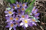 Фото 7 Крокусы (50 фото цветов): посадка, уход, размножение