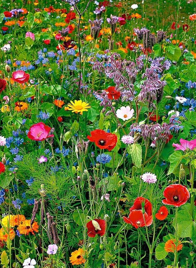 Многоцветие мавританского газона