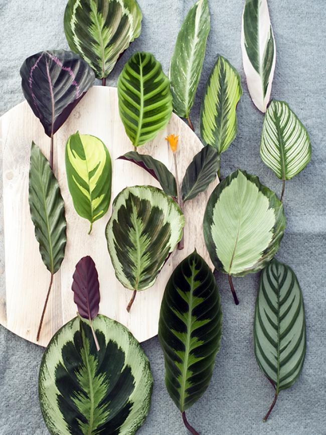 Листья отдельных разновидностей калатеи имеют совершенно разную форму и окраску