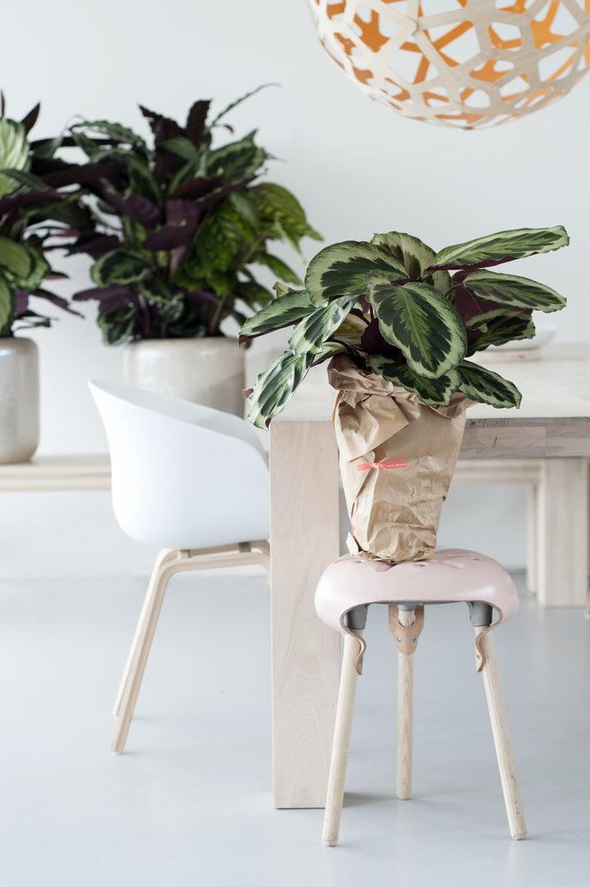 Белый и светлые нейтральные цвета выигрышно подчеркивают красоту взрослого растения калатеи