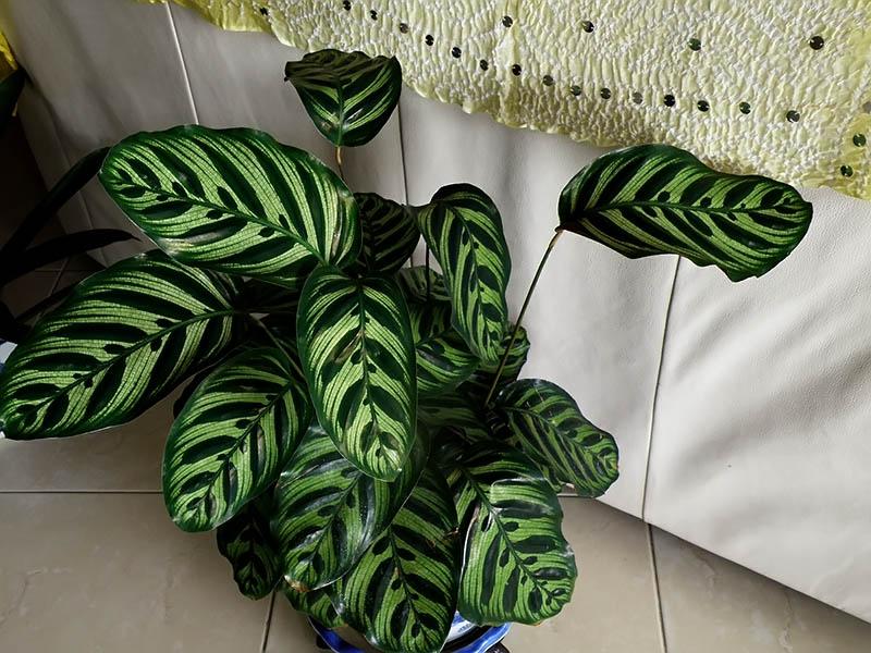 Яркая полосатая окраска листьев Калатеи Макоя привлекает взгляд