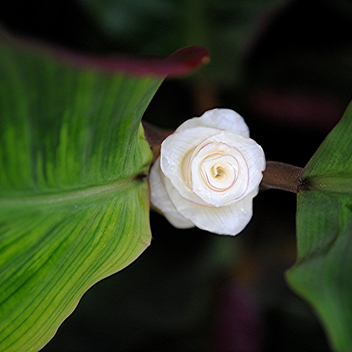 Калатея Варшевичи цветок
