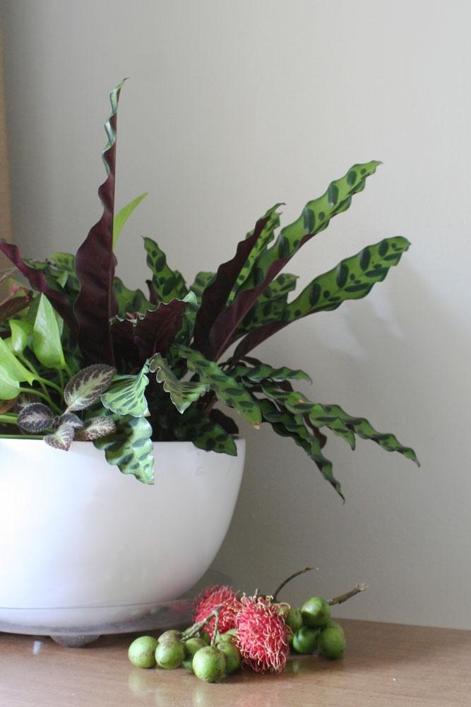 Калатея Лансифолия в живой композиции с другими растениями