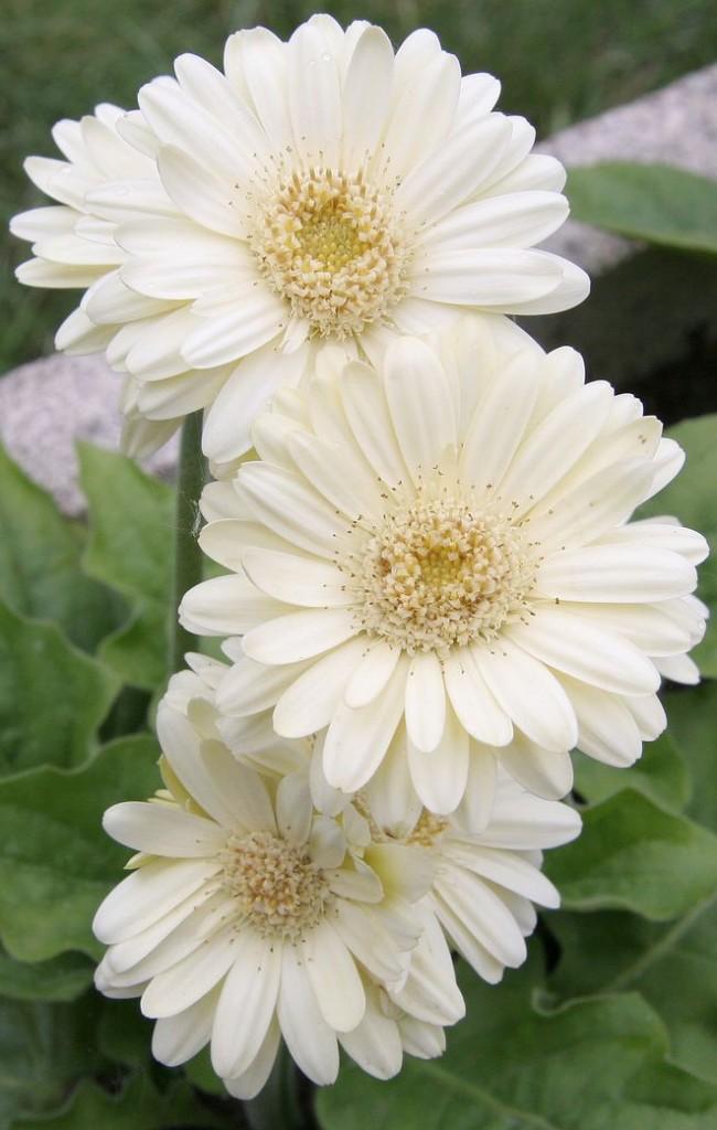 Нежнейший цветок кремового цвета