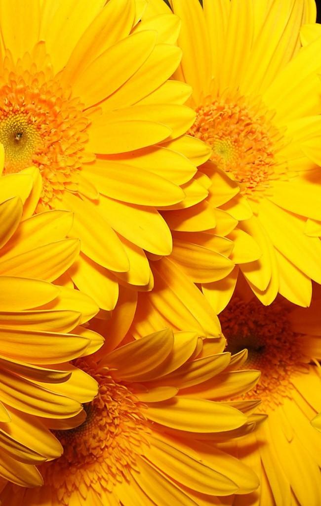 Солнечные желтые герберы