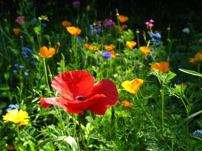 Для самостоятельного создания мавританского газона отлично подойдут маки, хризантемы, васильки, ромашки