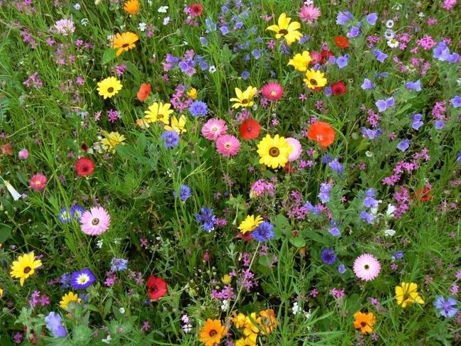 Для мавританского газона можно выбрать любые луговые цветы