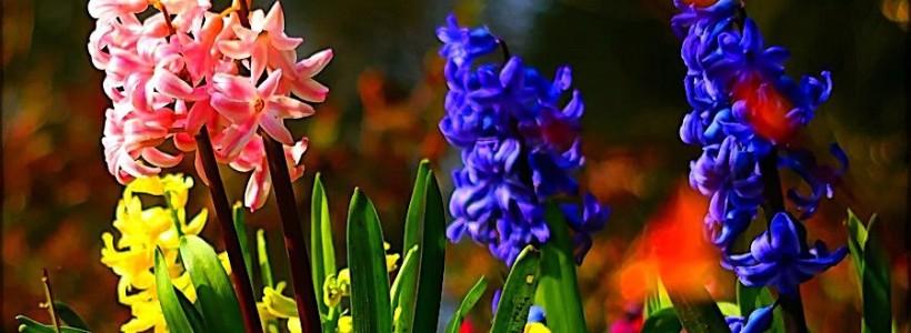 Гиацинт (65+ фото): посадка и уход в домашних условиях — советы опытных садоводов