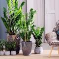 Замиокулькас (33 фото): посадка, выращивание, уход в домашних условиях фото
