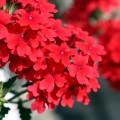 Вербена (51 фото): неприхотливая красота для вашего сада фото