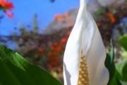 Фото 6 Спатифиллум (67 фото): «женское счастье» из тропических лесов