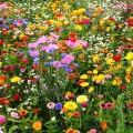 Мавританский газон (44 фото): простой способ украсить сад фото