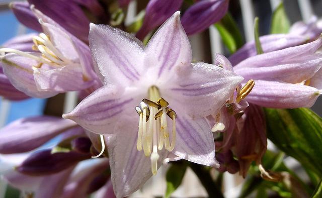 Этот необычайный цветок придаст изюминку вашему саду