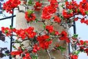 Фото 21 Айва японская (75 фото): уход, выращивание и размножение