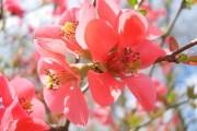 Фото 8 Айва японская (75 фото): уход, выращивание и размножение