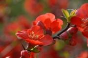 Фото 33 Айва японская (75 фото): уход, выращивание и размножение