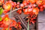Фото 15 Айва японская (75 фото): уход, выращивание и размножение