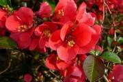 Фото 34 Айва японская (75 фото): уход, выращивание и размножение