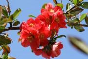 Фото 20 Айва японская (75 фото): уход, выращивание и размножение